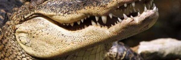 Crocodilos em pânico